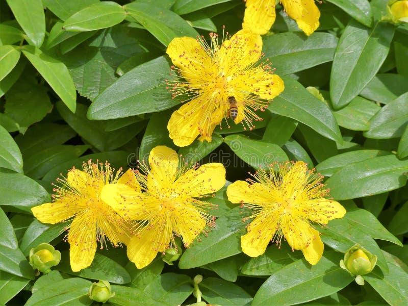 Hypericumcalycinum enväxande blomma buske Gemensamma namn inkluderar detSharon, Aarons skägget och stora Sts John wort royaltyfri fotografi