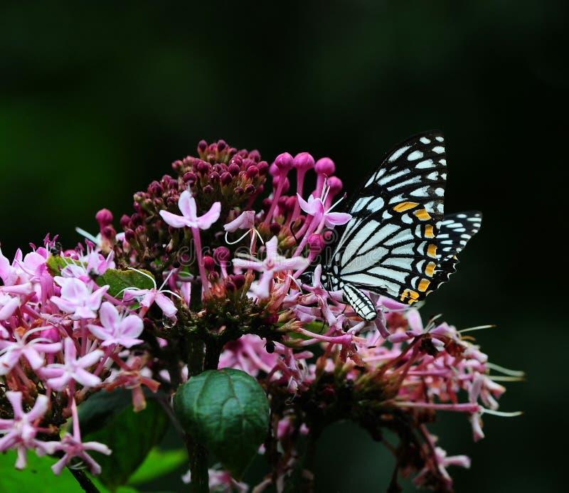 hypheh catepillar di amore della foglia della farfalla fotografie stock libere da diritti