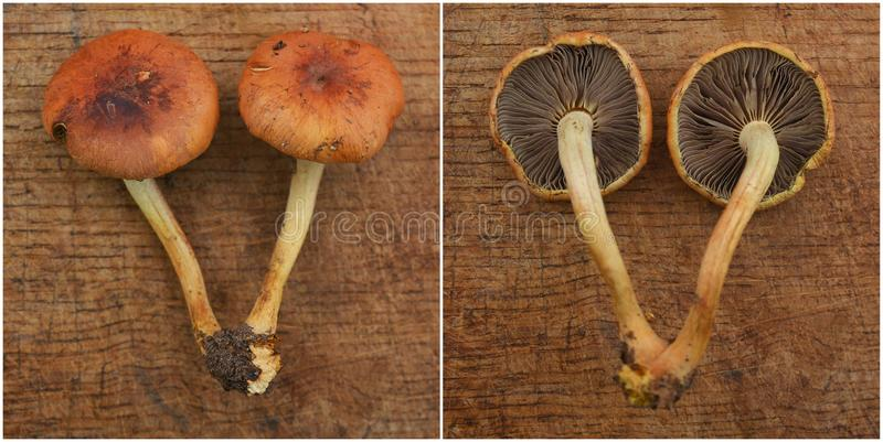 Hypholoma lateritium mushroom. Also known as the brick cap stock images