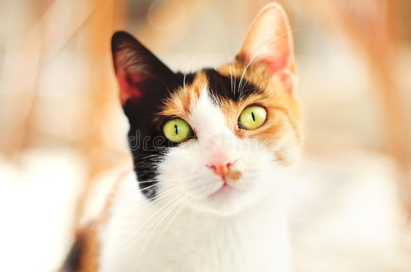 Ginger cat with feline pupils look hungry. Ginger cat with hungry look has narrow feline pupils stock photo
