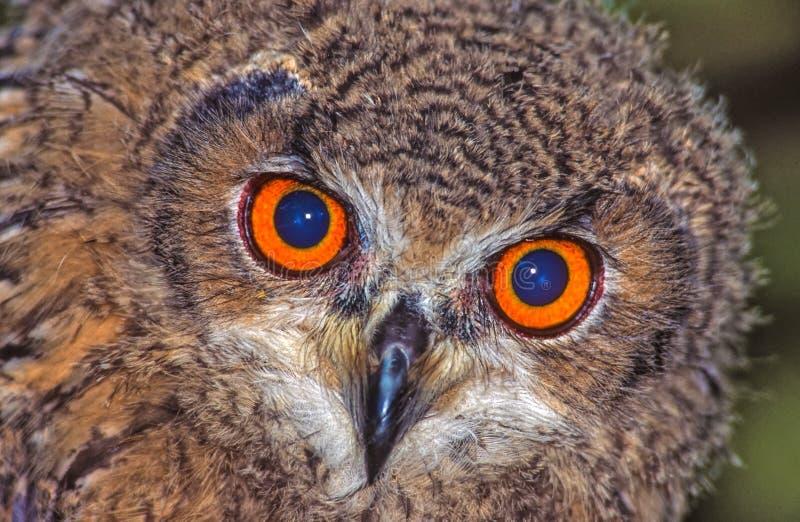 Hypnotic eyes. The hypnotic eyes of an owl stock photography