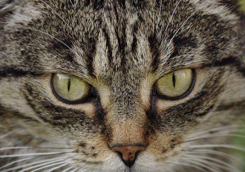 Hypnotiser par des yeux du ` s de chat images libres de droits