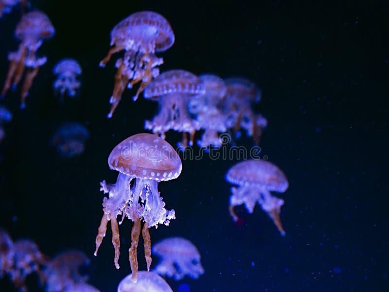 Hypnotiskt färgrikt marmorerar undervattens- manet fotografering för bildbyråer