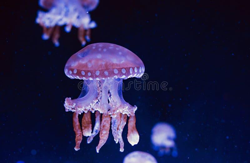 Hypnotiskt färgrikt marmorerar undervattens- manet arkivfoton