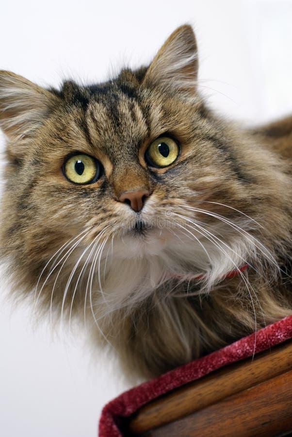 Hypnotist del gatto fotografie stock