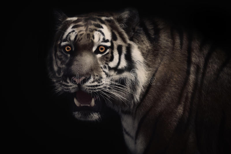 Hypnotized tiger royalty free stock photography
