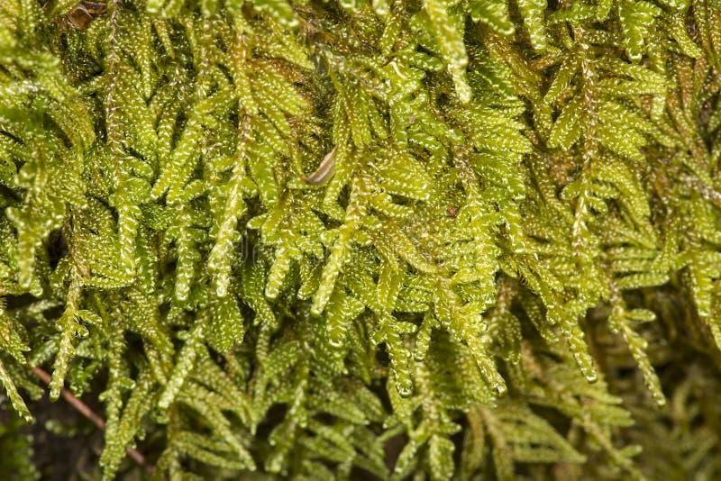 Hypnum sheet moss on log at Mud Pond, New Hampshire. royalty free stock photography