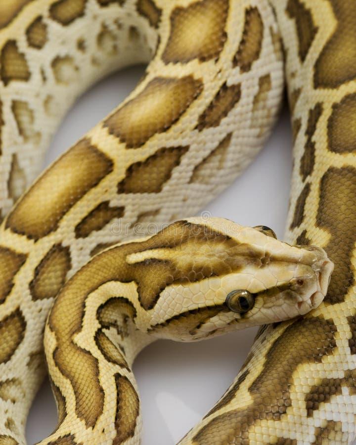 Hypo Burmese Python. (Python molurus bivittatus) on white background royalty free stock photo