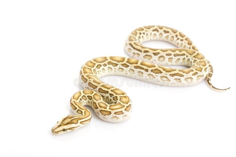 Hypo Burmese Python (. Python molurus bivittatus) on white background royalty free stock photography