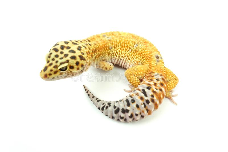 Hypo Tangerine Carrot Tail Leopard Gecko 07 Stock Image