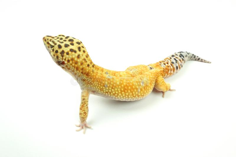 Hypo Tangerine Carrot Tail Leopard Gecko 07 Stock Image - Image of