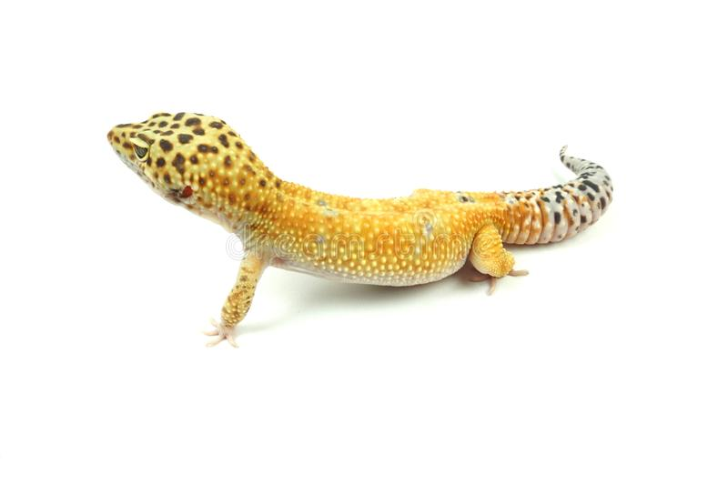 Hypo Tangerine Carrot Tail Leopard Gecko 05 Stock Photo