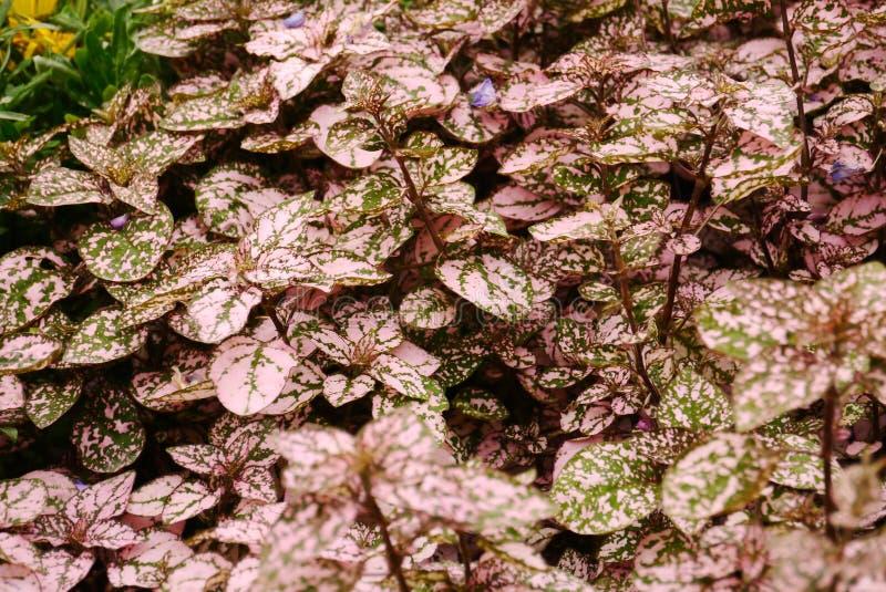 Hypoestes-Blätter stockfotos