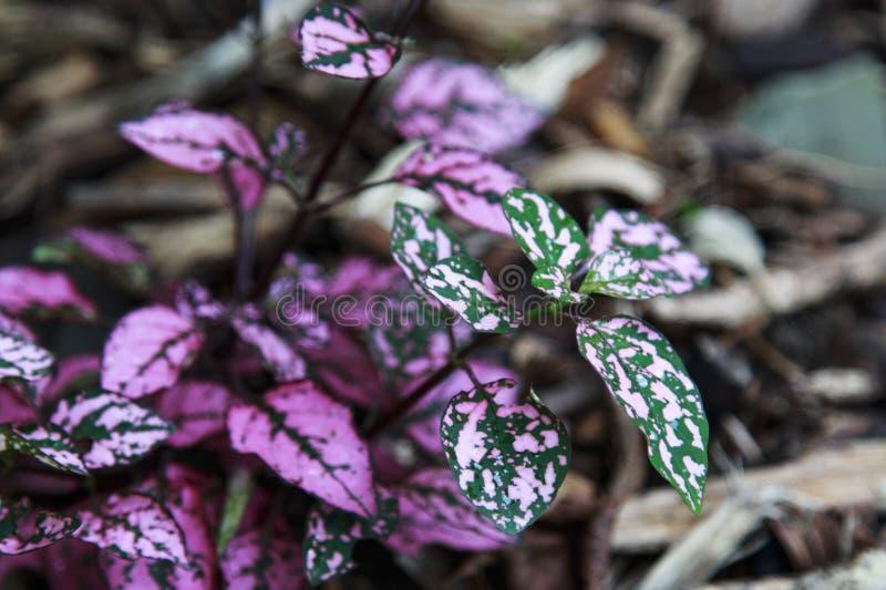 Hypoestes Roze Polka Dot Leaves stock afbeelding