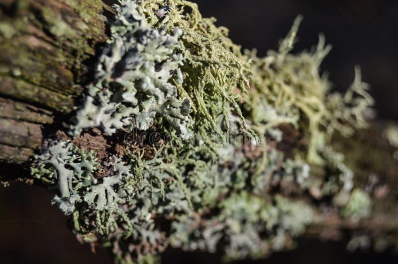 Hypogymnia physodes royalty-vrije stock foto