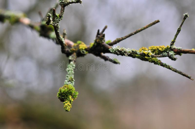 Hypogymnia physodes and moss lichenized fungi growing on a branch royalty free stock photo