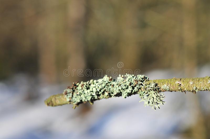 Hypogymnia physodes and Usnea filipendula fishbone beard lichen royalty free stock photos