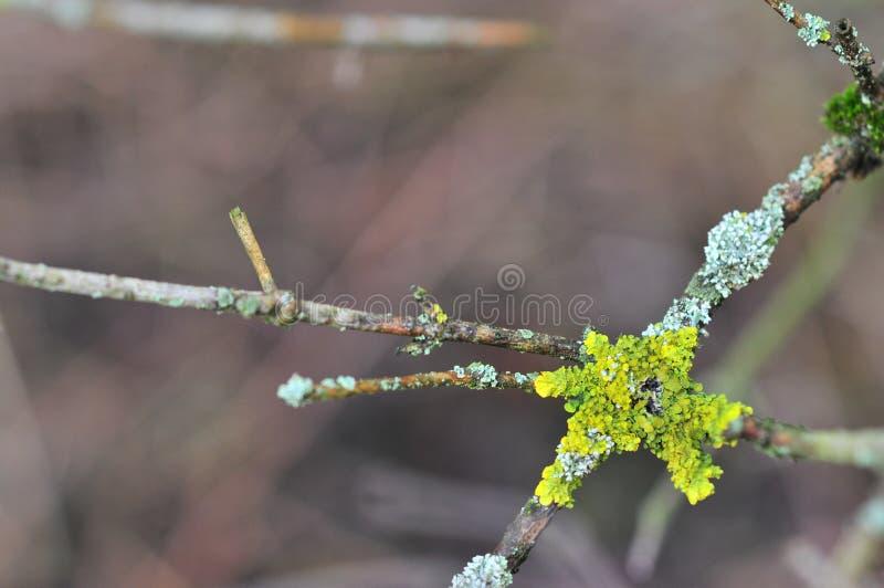 Hypogymnia physodes and Xanthoria parietina common orange lichen, yellow scale, maritime sunburst lichen and shore lichen. Lichenized fungi growing on a branch royalty free stock photos