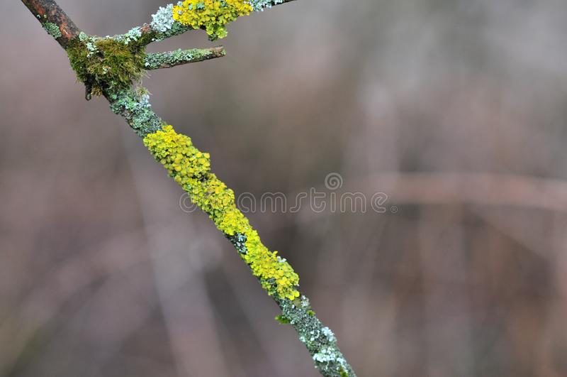Hypogymnia physodes and Xanthoria parietina common orange lichen, yellow scale, maritime sunburst lichen and shore lichen royalty free stock images