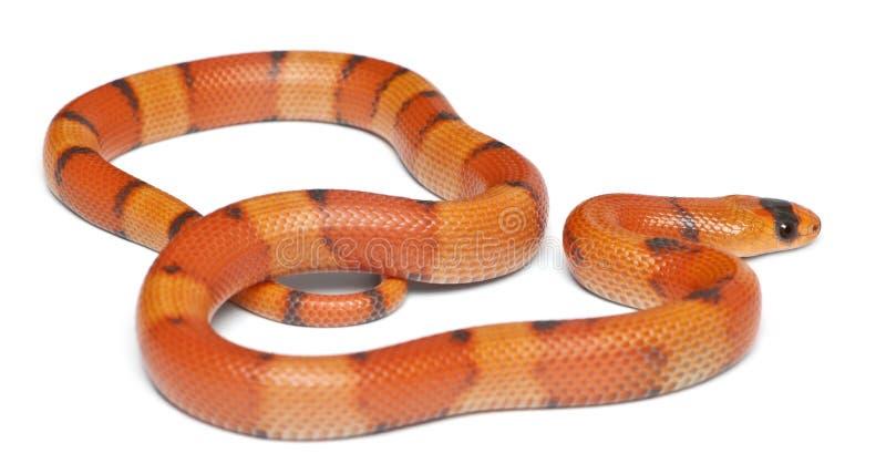Hypomelanistic Honduran φίδι γάλακτος Tricolor στοκ φωτογραφίες με δικαίωμα ελεύθερης χρήσης