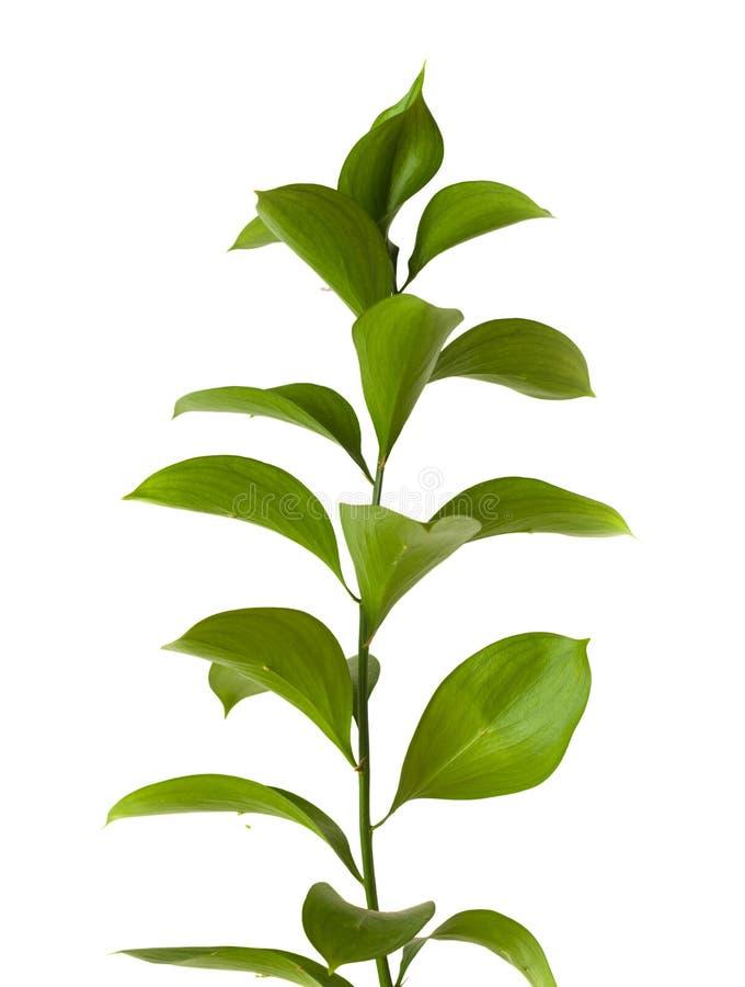 Hypophyllum de Ruscus, le balai invertébré du boucher photo libre de droits