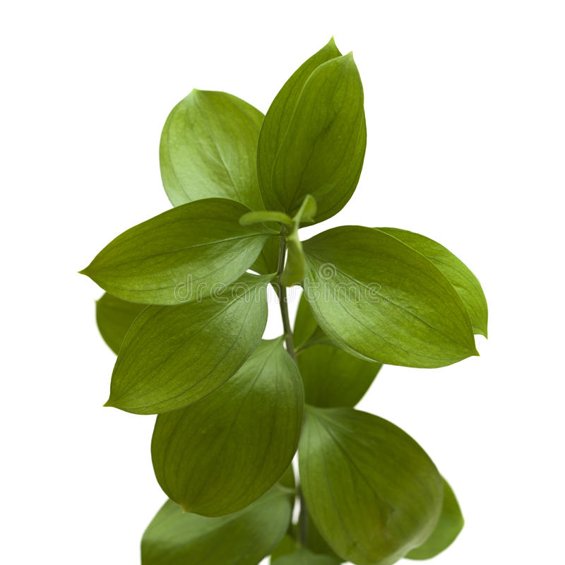 Hypophyllum Ruscus, ασπόνδυλη σκούπα χασάπηδων ` s στοκ φωτογραφίες