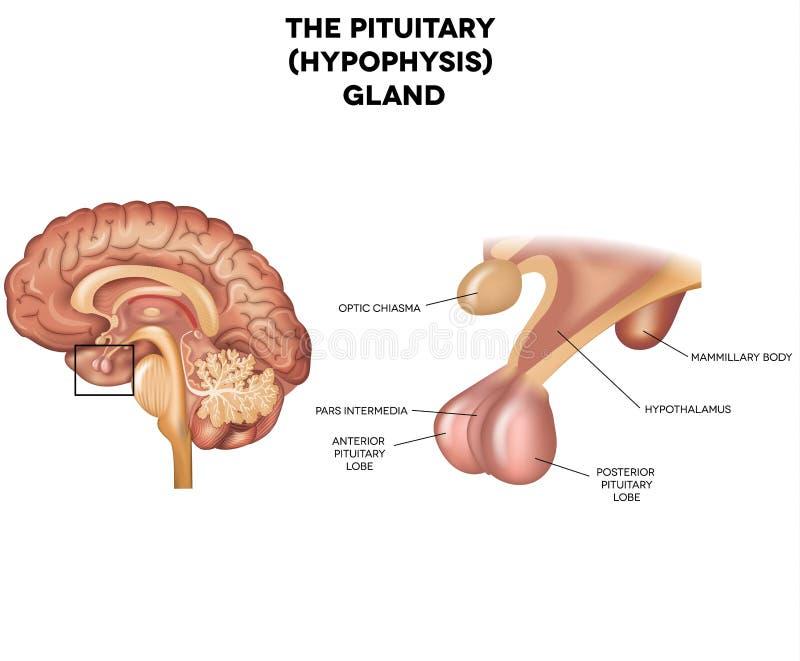 Hypophyse, glande pituitaire illustration libre de droits