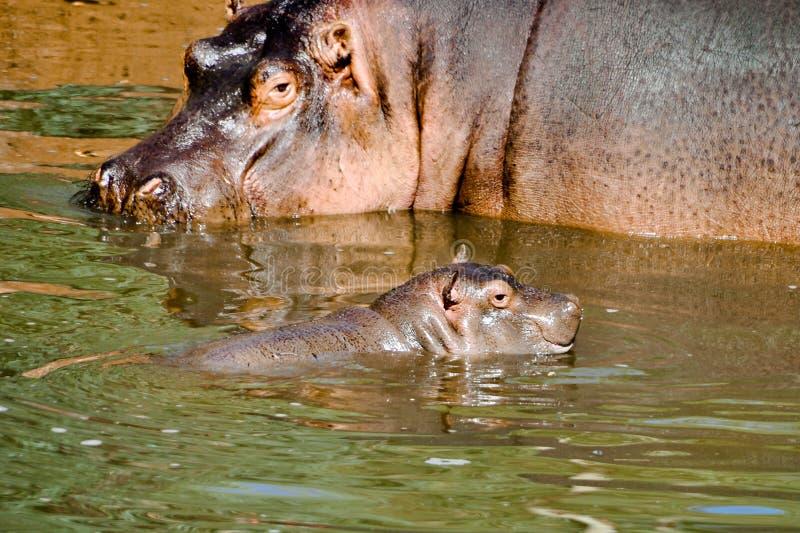 Hypopotamus kvinnliga bildskärmar hennes flodhästavel royaltyfri foto