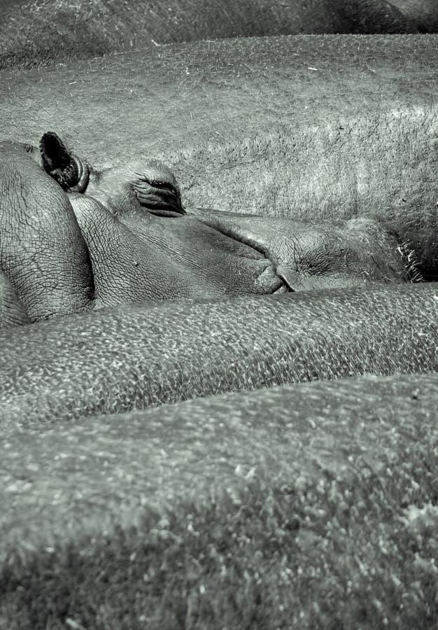 Hypopotamusslaap stock foto's