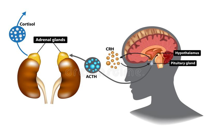 Hypothalamic-pituitary-adrenal HPA axis royalty free illustration