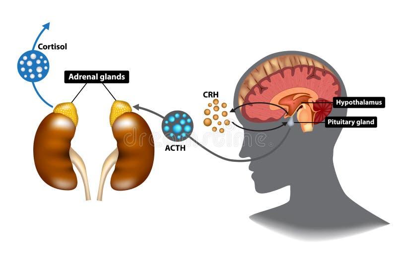 Hypothalamic-slijmachtig-bijnierhpa-as royalty-vrije illustratie