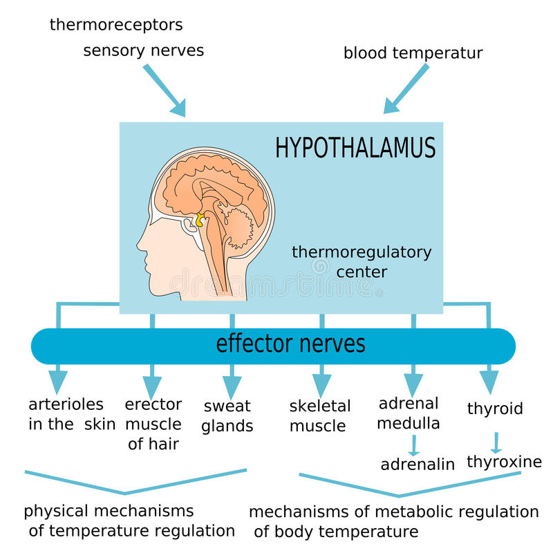 hypothalamus vektor illustrationer