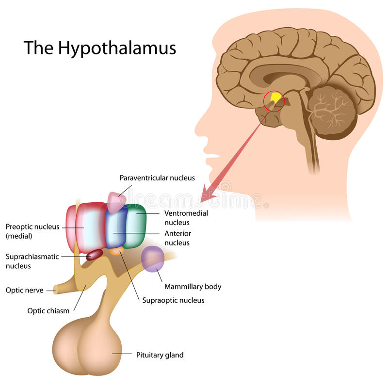 The hypothalamus stock vector. Illustration of lobe, neuroendocrine ...