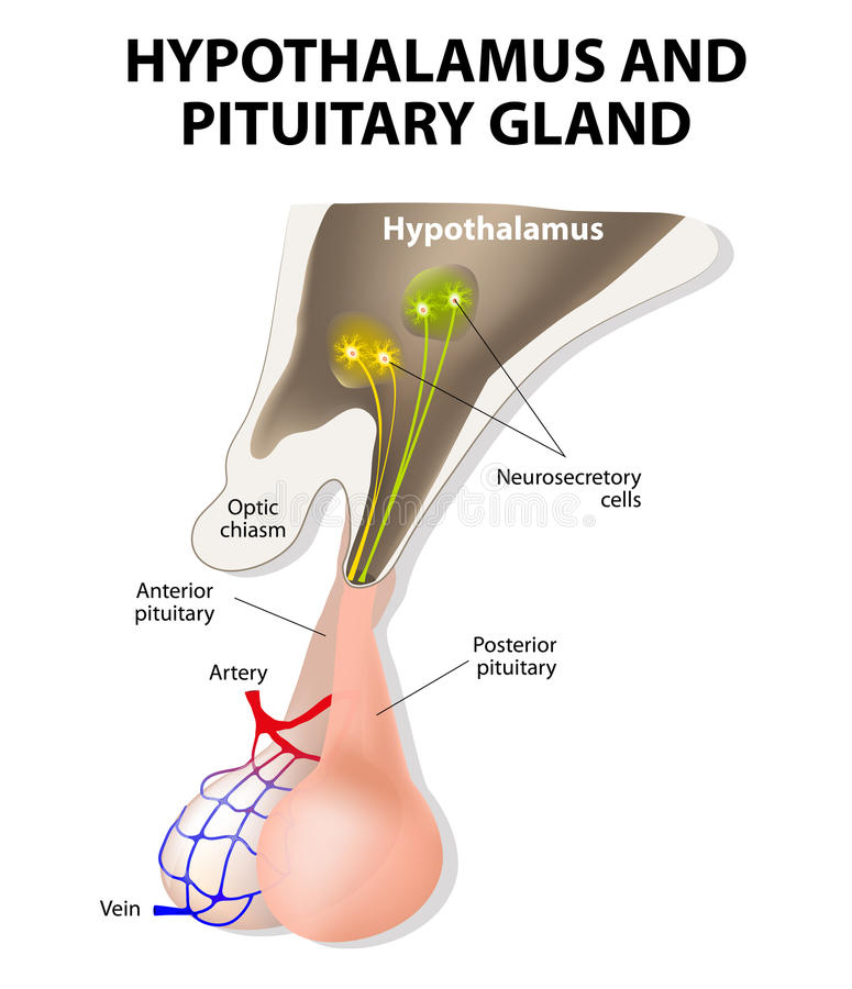 Hypothalamus and Pituitary Gland. Pituitary gland is connected to the hypothalamus via a stalk, the infundibulum, and consists of two lobes: the anterior vector illustration