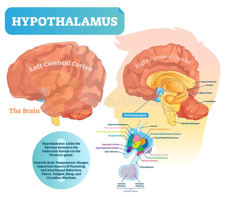 Hypothalamus vector illustration. Labeled diagram with brain part structure vector illustration