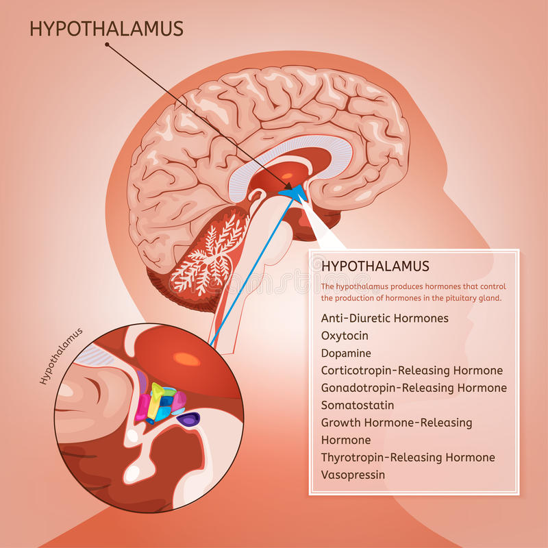 Hypothalamus Vector Image Stock Vector Illustration Of Lobe 96658844