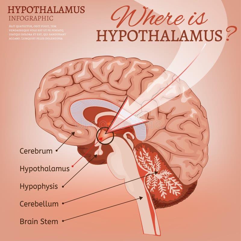 Hypothalamusvektorbild stock illustrationer