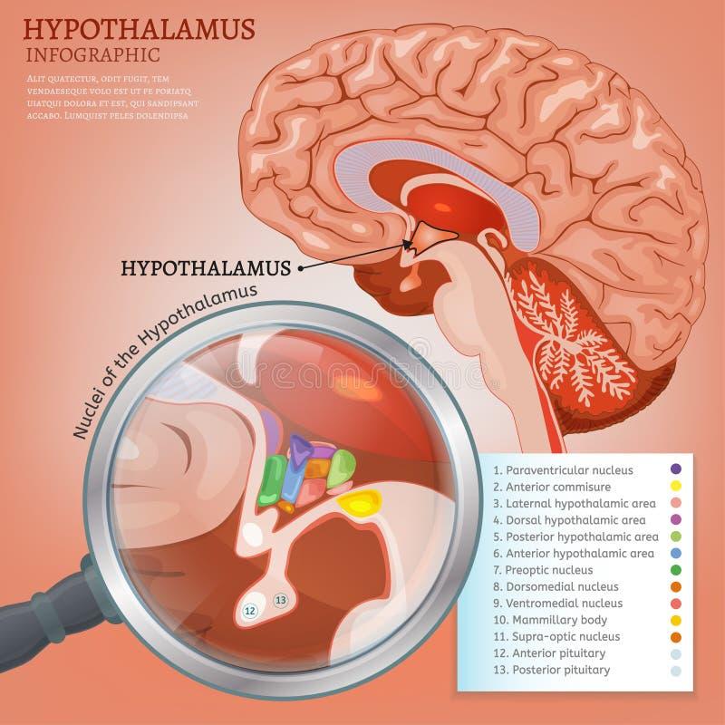 Hypothalamusvektorbild vektor illustrationer