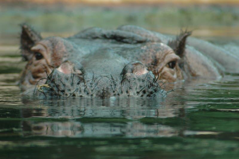 Hyppo am Zoo lizenzfreie stockfotografie