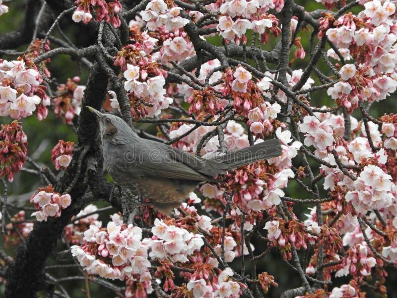 Hypsipetesamaurotis (bruin-Eared Bulbul) en Plum Blossoms, Ueno, Japan royalty-vrije stock foto's