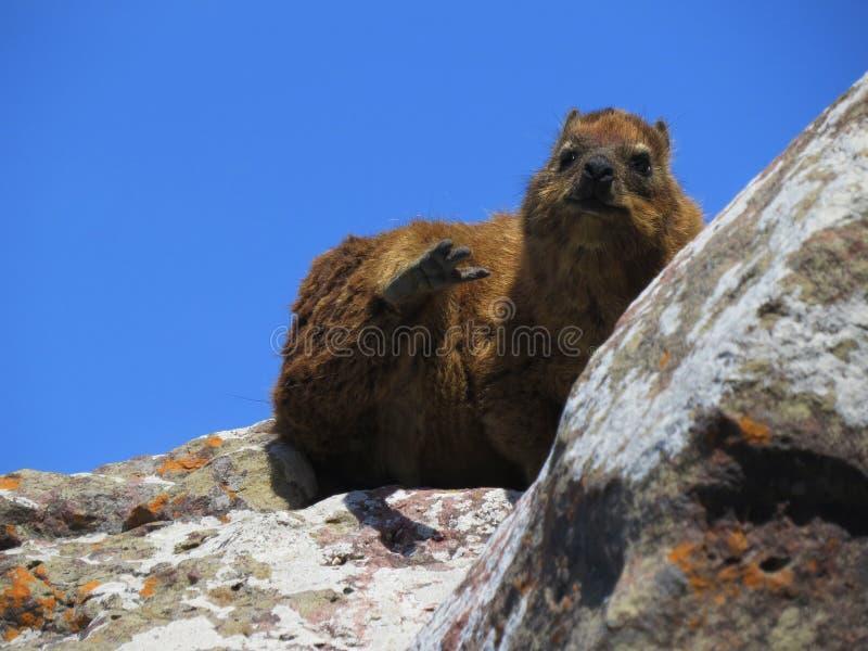 Hyrax de roca que se sienta en un acantilado cerca del océano imagen de archivo libre de regalías