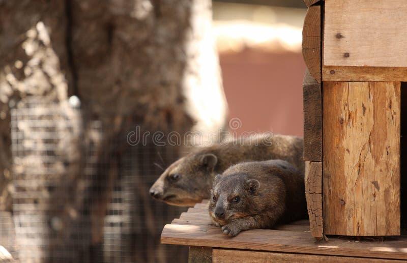 Hyrax de rocha fotos de stock royalty free