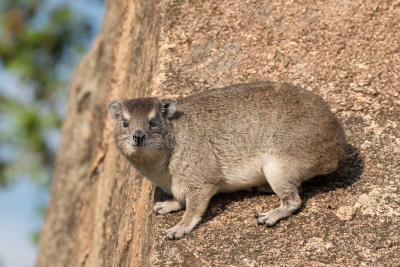 Hyrax de rocha fotografia de stock