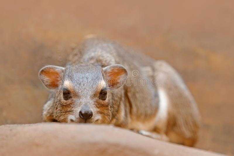 Hyrax de rocha, capensis do Procavia, África do Sul Mamífero interessante raro de África Rocha Hyray na pedra na montanha rochosa fotografia de stock royalty free