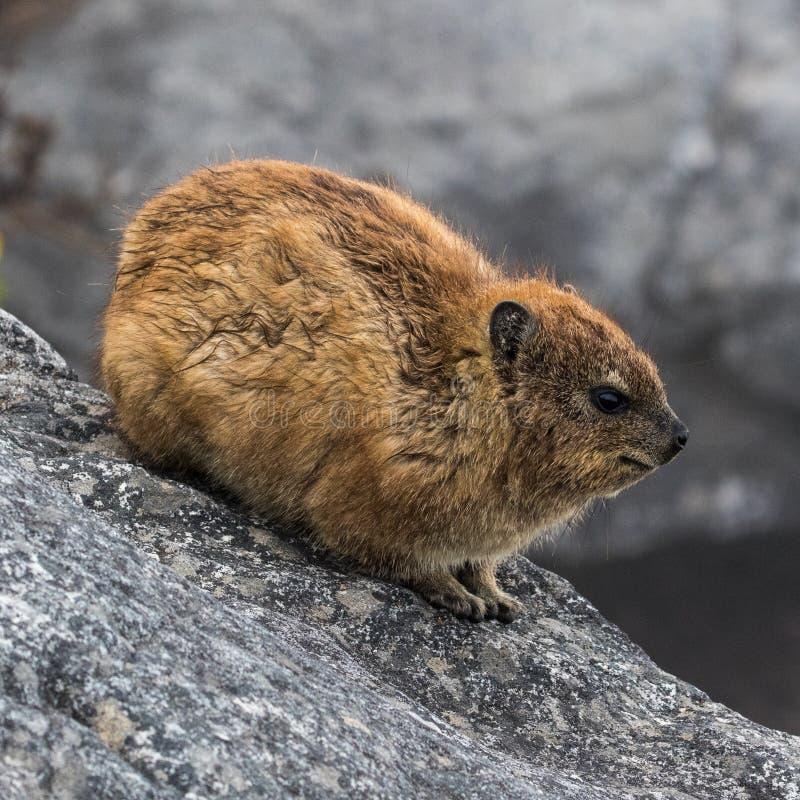Hyrax de roche à la montagne de Tableau images libres de droits