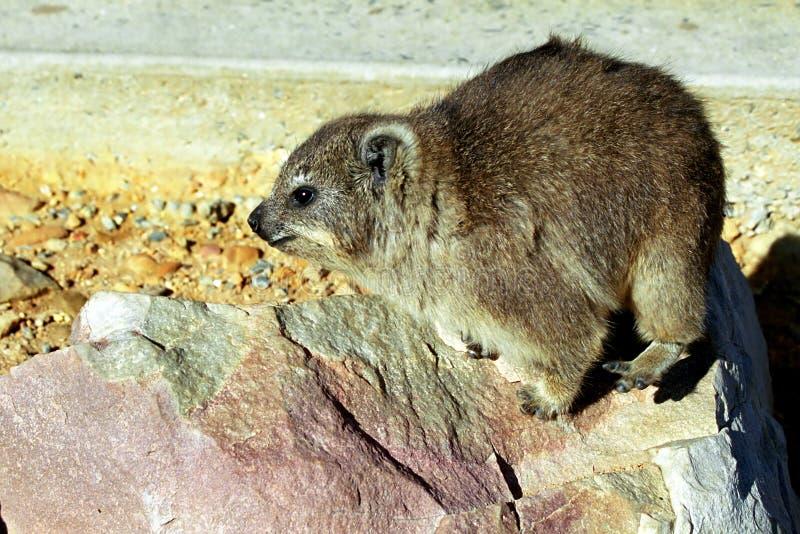 Hyrax de roche, Hermanus, République sud-africaine photos stock