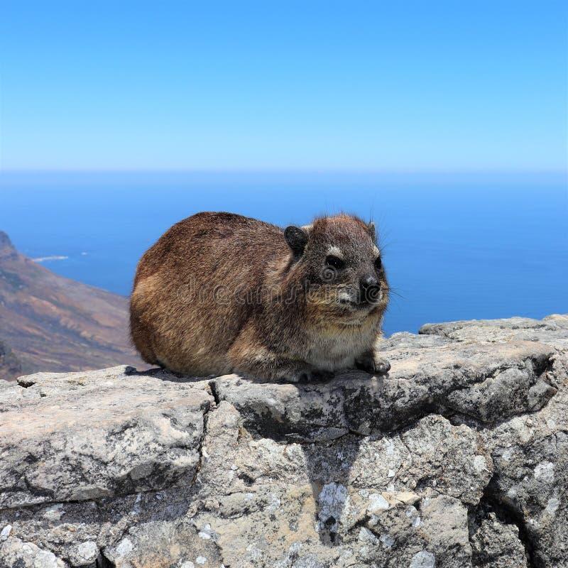 Hyrax de roche sur la montagne de Tableau à Cape Town photo stock