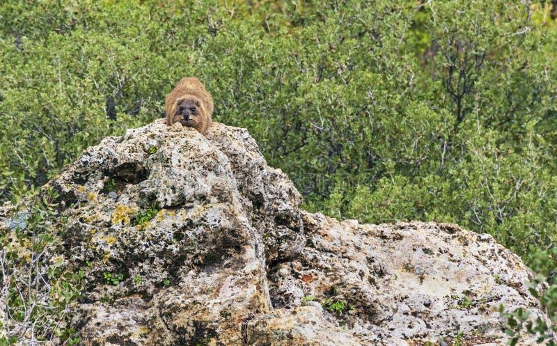 Hyrax de roche sur le devoir de sentinelle près de Banyas en Israël photos libres de droits