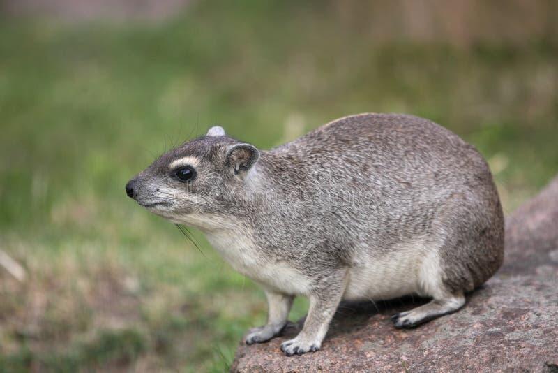 hyrax di roccia Giallo-macchiato fotografie stock