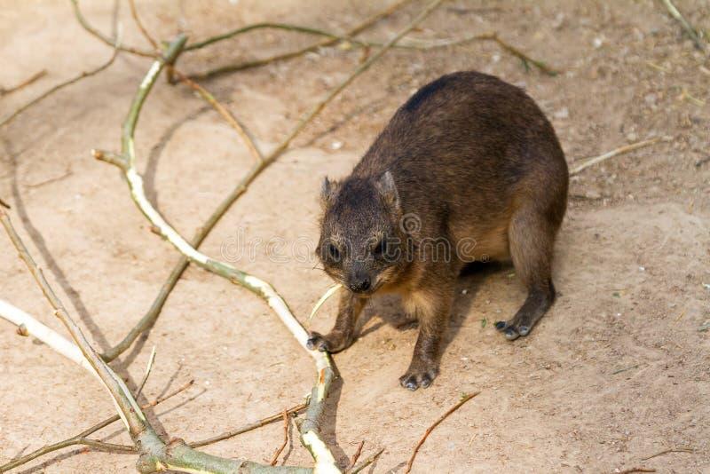 Download Hyrax stock image. Image of wild, wildlife, hyracoidea - 32235581